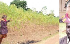Where maize has failed, cassava is flourishing