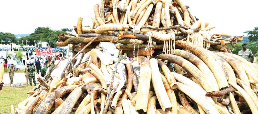 Should China burn its ivory?