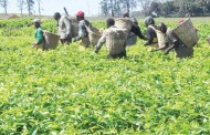 Blackouts hit tea sector