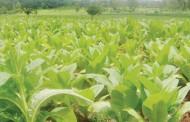 Tobacco output falls below demand