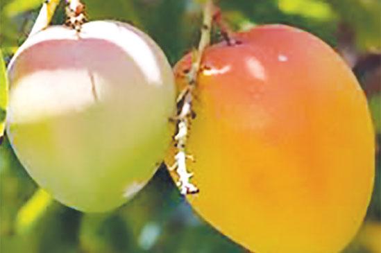 Malawi Mangoes eyes European market
