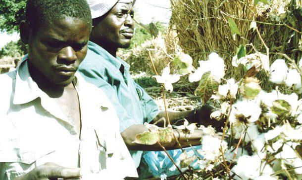 Cotton market opens