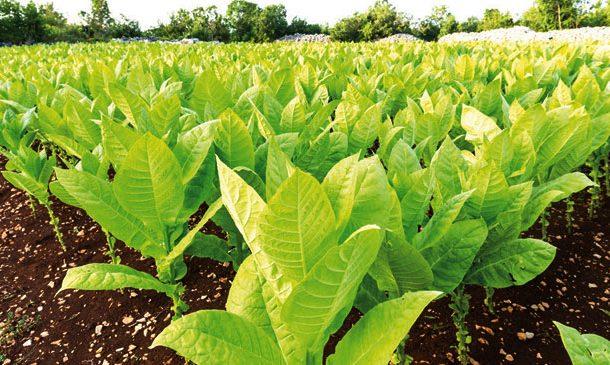 Tobacco revenue hits $30.2 million