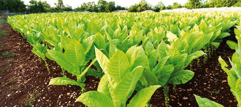 Tobacco rakes in $18 million