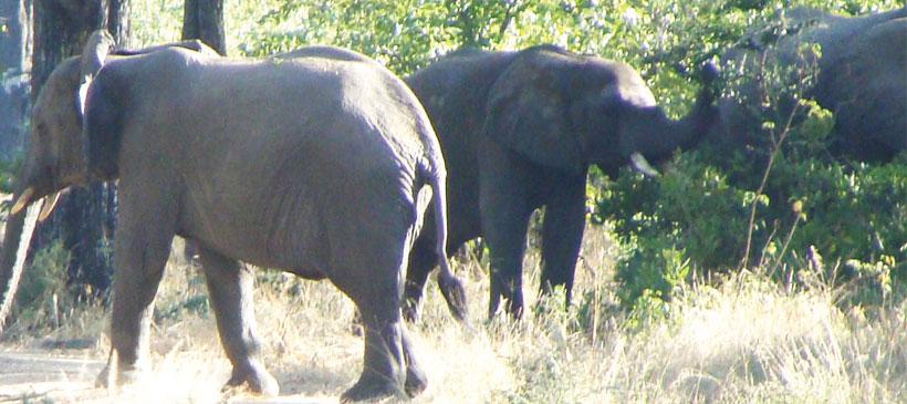 Malawi against lifting of ivory trade ban