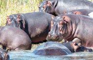 Malawi stems hippos deaths
