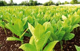 Tobacco demand could plummet