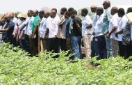 Admarc embarks on irrigated cotton