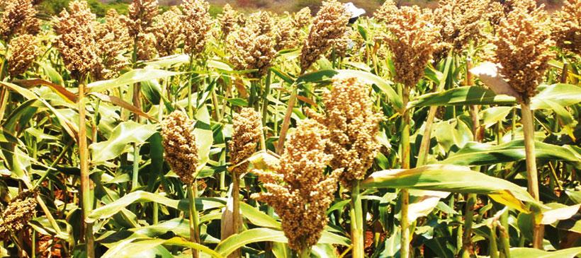 Icrisat releases new sorghum varieties